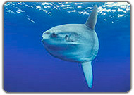 common mola