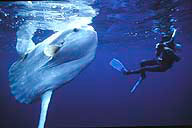 diving with mola