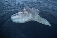basking ocean sunfish