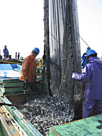 Harvesting the set nets full of anchovies