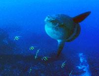 Ocean sunfish - Bali
