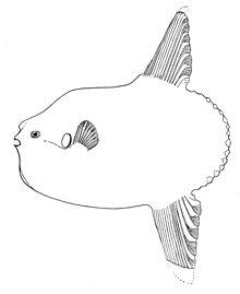 Mola ramsayi (short ocean sunfish)