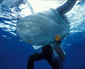 A patient sunfish