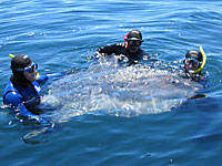 Tag team in the water with the mola off Sandy Bay near Capetown, South Africa