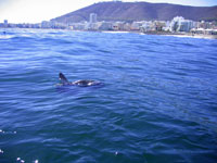 Tagged sunfish with Capetown in the background Photo by N. Townsend