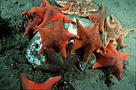 Bat stars eating dead ocean sunfish