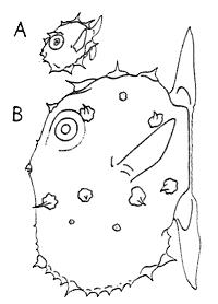 Mola mola larvae