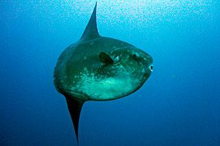 Indonesian mola